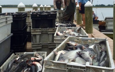 Virginia's booming wild-caught blue catfish industry may weaken under federal regulation