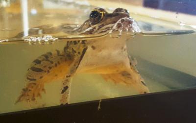 Pickerel Frogs