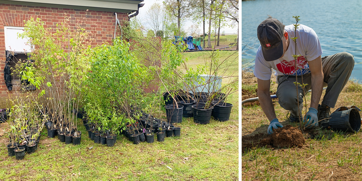 Man planting tree, group of one gallon trees for planting